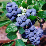 Mirtillo Duke arbusto di mirtilli in vendita online su AnticoPomario