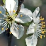 foto fiore impollinatore abeti