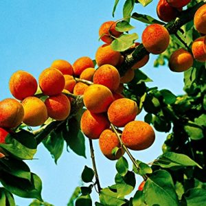 Foto frutti albicocco GOLDRICH (SUNGIANT)