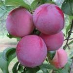 9susino-santa-rosa_1Dalmonte Anticopomario piante da frutto online17