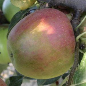 foto di mela Cox aranciata