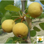 AP_giugno_ pero Dalmonte Anticopomario piante da frutto online pero albero di pere pianta di pere antiche