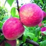 PESCO BUCO INCAVATO Anticopomario vendita piante da frutto