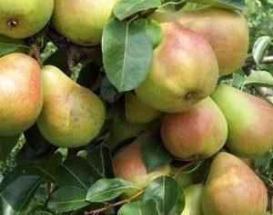 foto frutti dell'albero Butirra_precoce_MHardy D