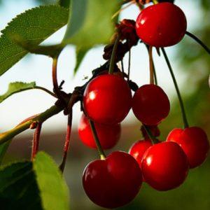 Foto frutti ciliegio Bigarreau_Burlat