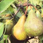 Conference – albero di pere – pero