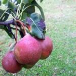 Dalmonte Anticopomario piante da frutto online pero albero di pere pianta di pere antiche