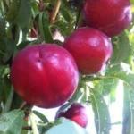 Dalmosweet one Dalmonte Anticopomario piante da frutto online 1