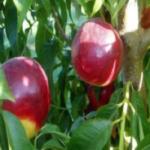 Dalmosweet two Dalmonte Anticopomario piante da frutto online