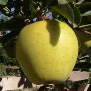 Foto di mela goldrush buccia gialla