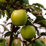 Melo goldrush piante da frutto in vendita online Anticopomario piante da frutto online albero di mele
