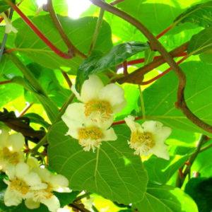Foto fiori e foglie di impollinatore kiwi Tomuri