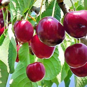 foto dei frutti della pianta di ciliegie Ferrovia