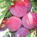 Fortune -suisino- albero di susine –