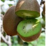 foto dei frutti della pianta di kiwi hayward