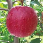 Fuji_Kiku melo piante da frutto in vendita online albero di mele – melo –