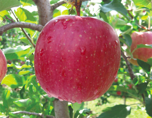 foto di melo rosso Fuji_Kiku
