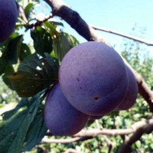 foto frutto GROSSA DI FELISIO