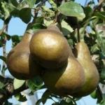 KAISER pero albero di pere Dalmonte Anticopomario piante da frutto online