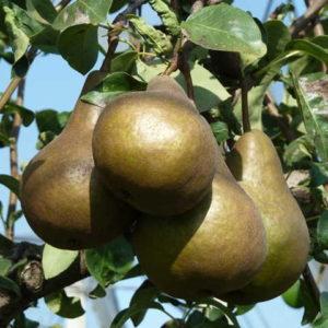 foto frutti dell'albero KAISER pero