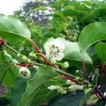 pianta da kiwi impollinatore_tomuri_ in vendita online
