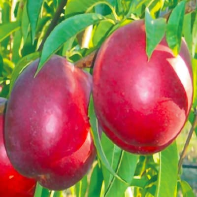 NETTARINA LAMI NECTAR vendita alberi da frutto