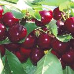 Lapins-albero-di-ciliegie – ciliegio –