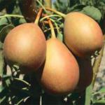 Lauro – pere varietà antiche – albero di pero –
