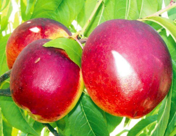 foto frutti dell' albero pesco NETTARINA MAX 4®