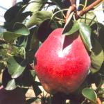 MaxRed-Bartlett albero di mele – melo –