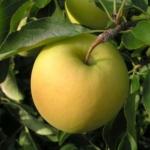 """foto frutti dell'albero Melo-""""Golden-Delicious"""