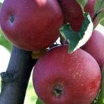 """foto frutti dell'albero Melo-""""Stayman-Red"""""""