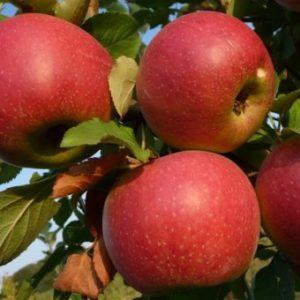 foto frutti dell'albero Melo Annurca