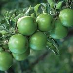 Melo Granny smith albero di mele Dalmonte Anticopomario piante da frutto online