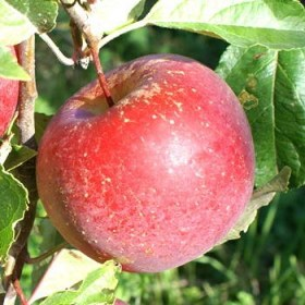 foto frutti dell'albero Melo Imperatore