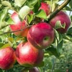 Melo florina Querina Dalmonte Anticopomario piante da frutto online