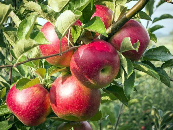 foto frutti dell'albero Melo florina Querina
