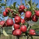 Melo imperatore Dallago albero di mele Dalmonte Anticopomario piante da frutto online