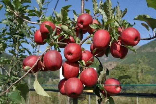 foto frutti dell'albero Melo imperatore Dallago