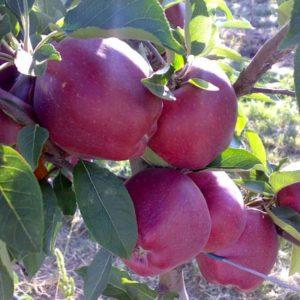 foto frutti dell'albero Melo red delicious Dalmonte
