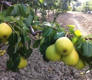 Molinaccio pero albero di pere pianta di pere antiche