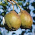 MoraFaenza – pere varietà antiche – albero di pero –