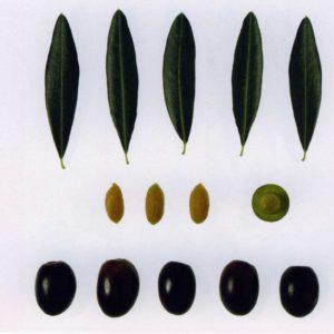 Foto di olive leccino e foglie con dimensioni