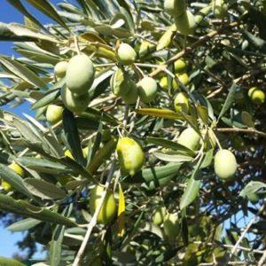 foto olive correggiolo