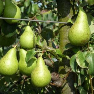 foto frutti dell'albero Pero CONFERENCE