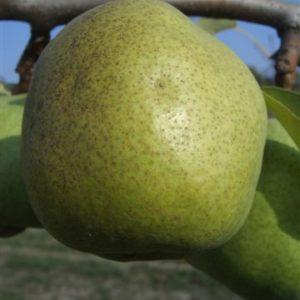 foto frutti dell'albero Pero Decana