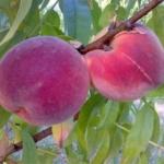 foto frutti dell'albero Pesco-Rome-star