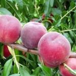 Pesco rosa del west Dalmonte Anticopomario piante da frutto online albero di pesche