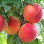 Pesco_Guglielmina_ Dalmonte Anticopomario piante da frutto online