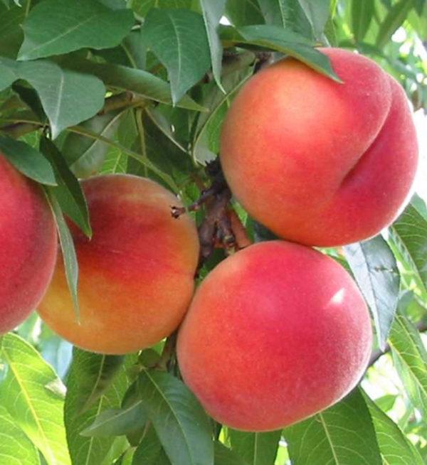 foto frutti dell'albero Pesco_Guglielmina
